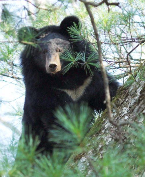 Гималайский медведь - обитатель кедрово-широколиственных лесов. Фото С.А. Колчина
