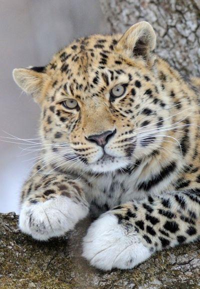 74ab9d6acc15 Leo 10M Лорд - один из самых известных дальневосточных леопардов.  Популярность пришла к нему в