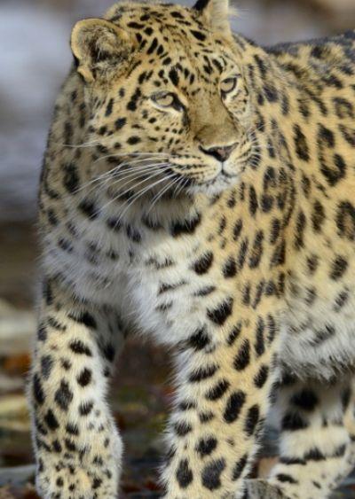 be4e24144ef4 Leo 1F Кедровку можно по праву назвать хозяйкой заповедника и  матерью-героиней. За время наблюдений она вырастила 8 котят. Фото  ФГБУ  «Земля леопарда».