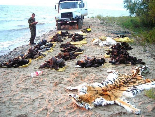Лапы медведей и шкура тигра, изъятые у контрабандистов