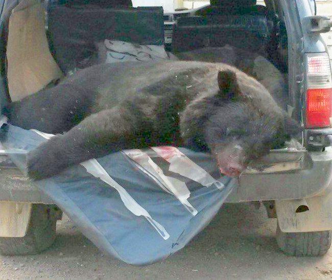 Убитых медведей тайно вывозят