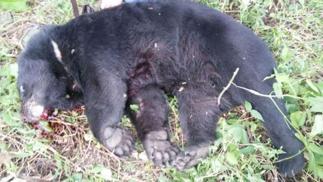 Убитый медведь в Лучегорске