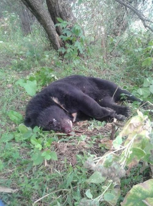В медведей стреляют пасечники и дачники